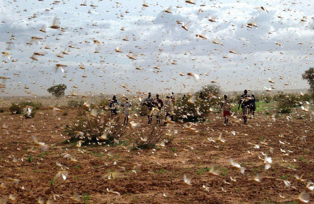 一个农场附近的天空飞满了沙漠蝗虫。