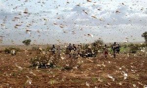 Enjambre de langostas del desierto en una granja.