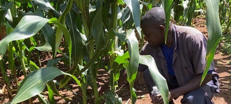 Arroz e milho tiveram aumento graças a boas perspectivas com o início das colheitas em alguns países