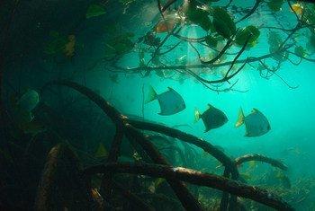 Los manglares y prados marinos son hábitats naturales de gran importancia en la lucha contra el cambio climático.