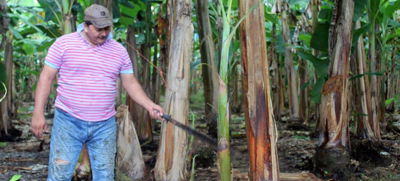 Alexis Aparicio es un productor de plátano en Bocas del Toro, Panamá.