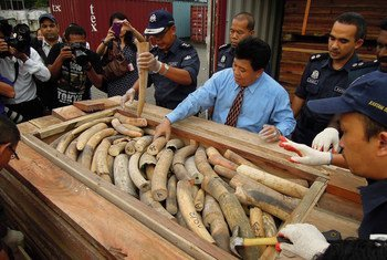 Malaysian customs officials show a seized illegal shipment of ivory.