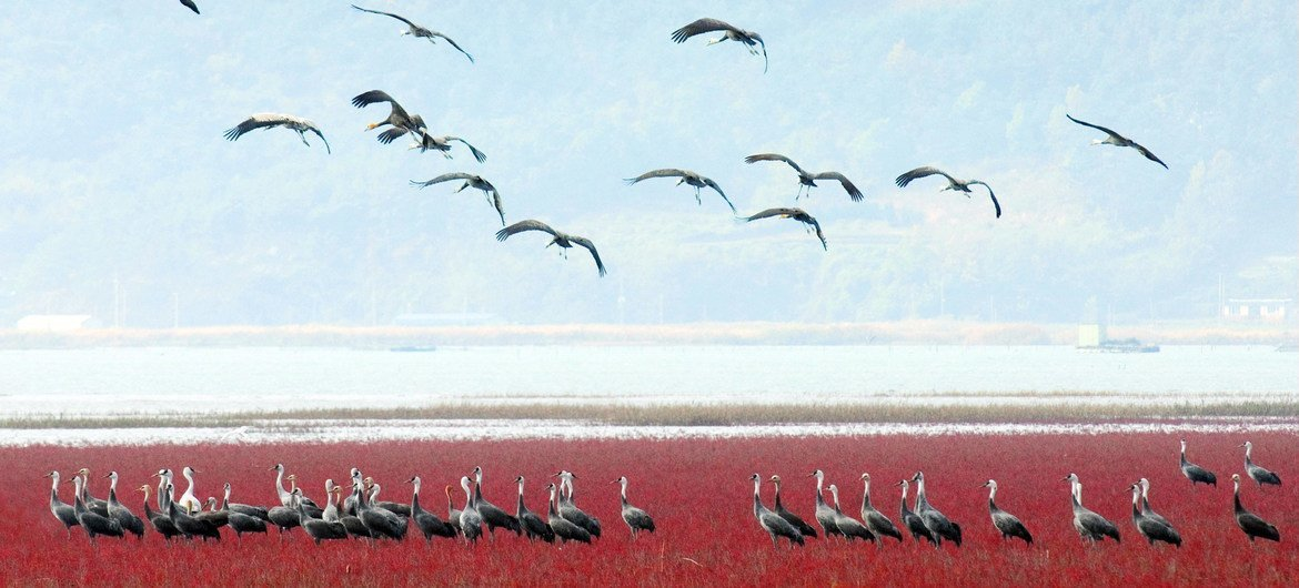 Community of East Asian seepweed and Hooded cranes in the Korean Tidal Flat.