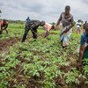 Some farmers in Malawi have started growing tomatoes as they try to adapt to a change in the climate.