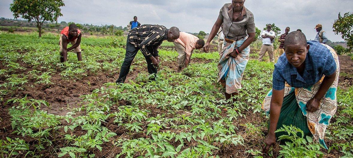 部分马拉维农民开始种植番茄以适应当地气候变化。