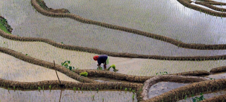 Rizière aux Philippines. Cultiver du riz nécessite beaucoup d'eau, ce qui a un impact environnemental.