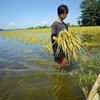 A farmer in the Philippines inspects his rice crop after a flood. Increased flooding is expected due to climate change.