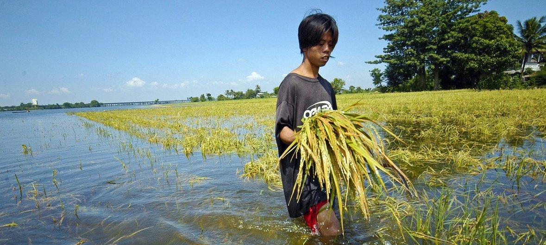 مزارع في الفلبين يتفقد محصول الأرز بعد الفيضان. من المتوقع حدوث زيادة في الفيضانات بسبب تغير المناخ.