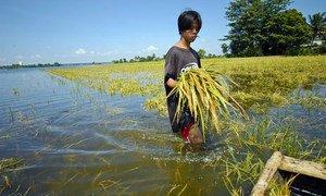 Последствия изменения климата лишают многих людей средств к существованию - вот этот филиппинец  из-за наводнения потерял урожай риса.