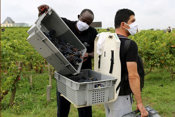 Refugees are helping to keep French vineyards in business during the COVID-19 pandemic.