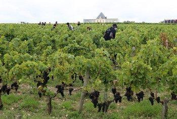 France. Des réfugiés aident à maintenir les vignobles en activité pendant la Covid-19