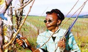 一名工人在南非的一个农场修剪树木