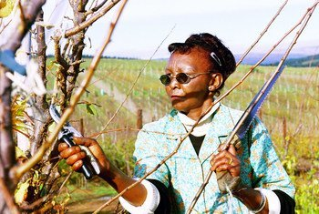 A worker prunes trees on a farm in South Africa.