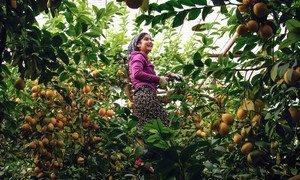 在联合国开发署的帮助下,塔吉克斯坦的农民在温室内种植柠檬和其他经济作物。