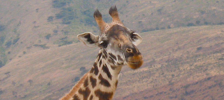 A giraffe in northern Tanzania. (file)