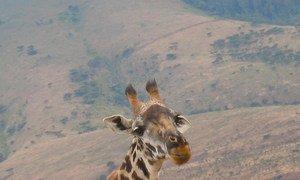 Uma girafa no norte da Tanzânia.
