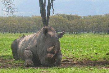 Черный носорог в заповеднике Селус в Танзании.