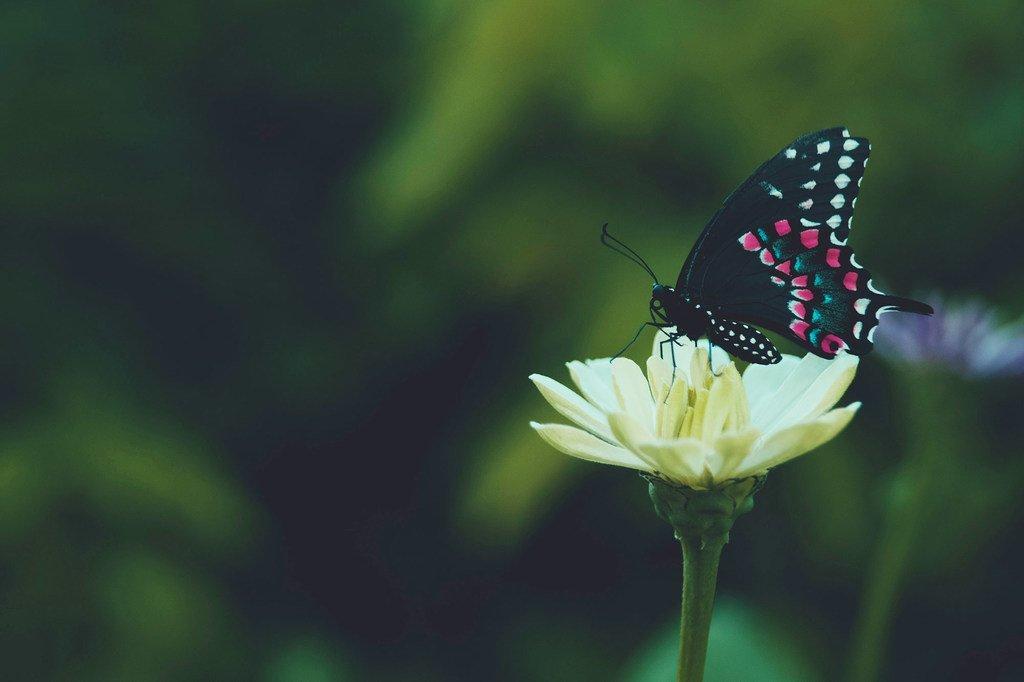 Un papillon récolte le nectar d'une fleur.
