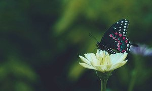 A butterfly collects nectar from a flower.