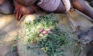La situation alimentaire dans la région d'Androy, au sud de Madagascar, est désastreuse. Les familles ramassent tout ce qu'elles trouvent au sol pour pouvoir nourrir leurs enfants.