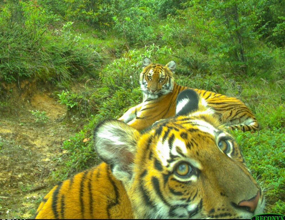 Des tigres au Bouthan.