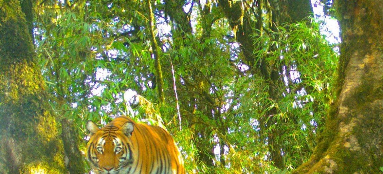 Les chercheurs ont installé 70 pièges à caméra dans les forêts et autres habitats des tigres au Bouthan afin de jeter un coup d'œil dans leur monde peu connu