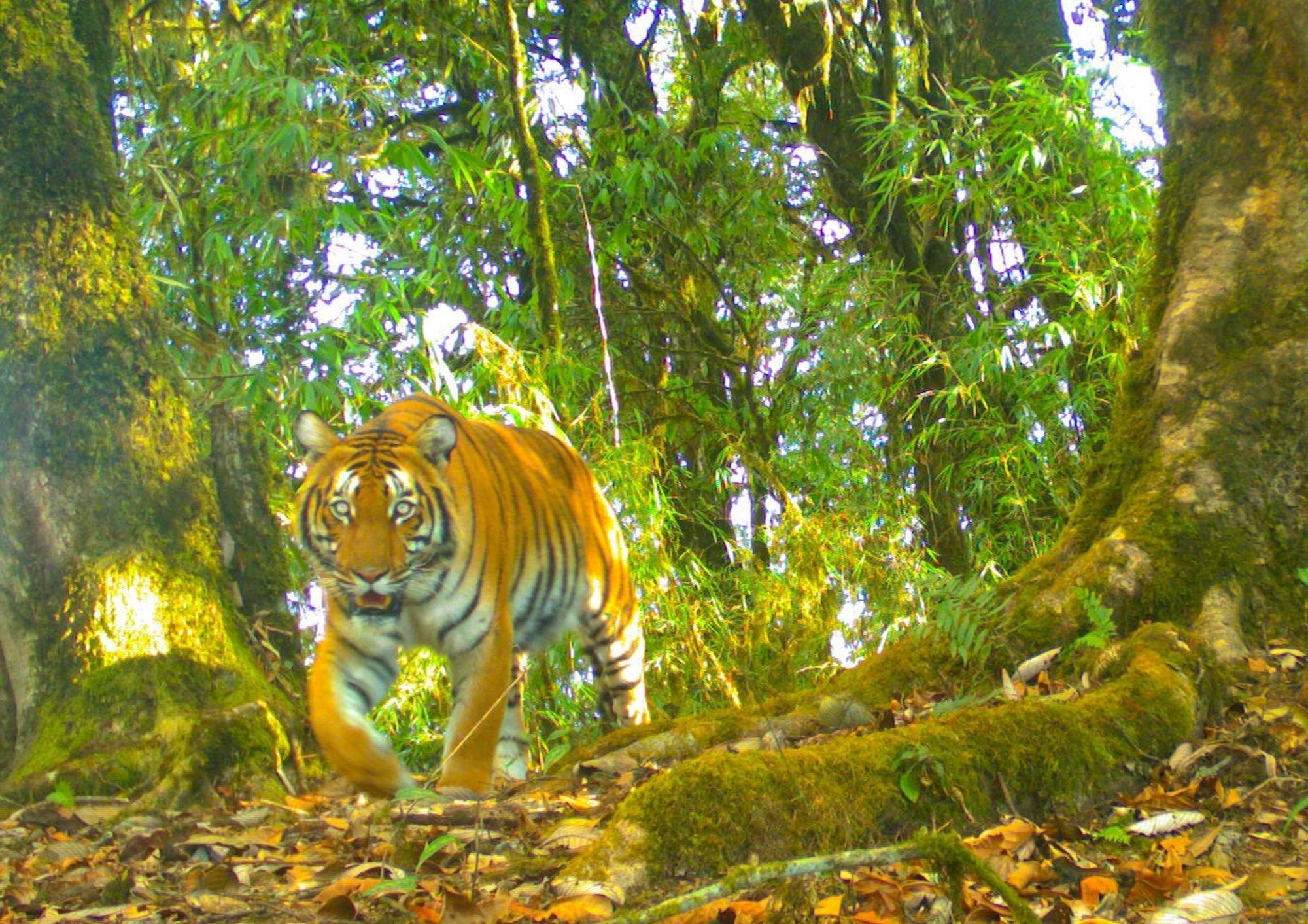 1910 और 2010 के बीच दुनिया में बाघों की आबादी 97 प्रतिशत घटी है और एक लाख से कम होकर लगभग 3500 पर पहुँच गई थी.