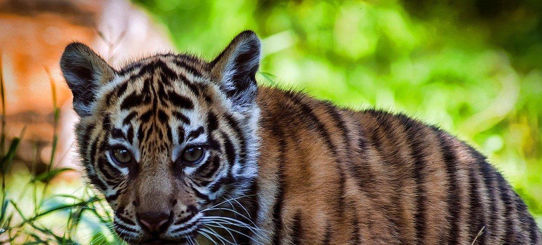 विलुप्ति के ख़तरे से जूझ रही प्रजातियों में से बाघ भी एक हैं.
