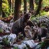 دبة تسير مع ديسم في إحدى غابات سلوفينيا.