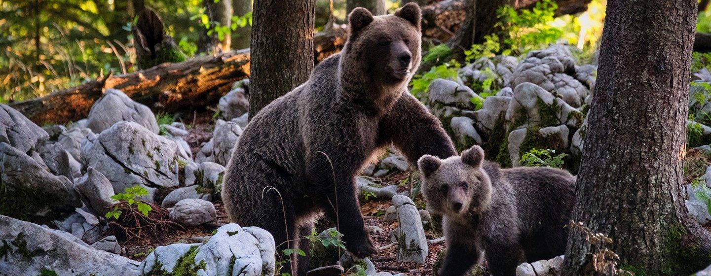 Un oso pardo y su cachorro en un bosque de Eslovenia.
