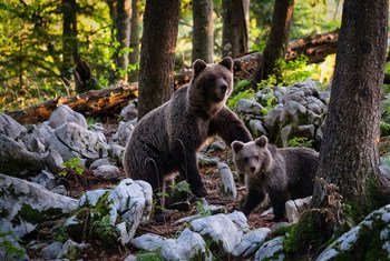 A brown bear and her cub walk through a forest in Slovenia.