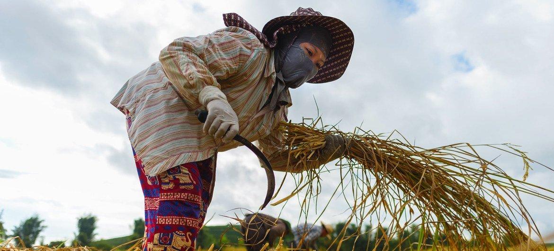 Una trabajadora migrante de Vietnamo cultiva durante la cosecha de arroz en Chiang Rai, al norte de Tailandia.
