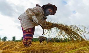 A Vietnamese migrant worker harvests rice in Chiang Rai, northern Thailand.
