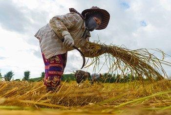 عامل مهاجر من فييت نام يحصد الأرد في شمالي تايلند.