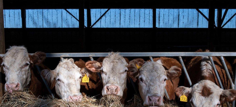 В ООН призывают значительно сократить использование антибиотиков в животноводстве - чтобы не допустить формирование резистентности.