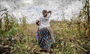 Una agricultora en medio de una nube de langostas del desierto en el condado de Kitui (Kenya). Los insectos se alimentan de los cultivos.