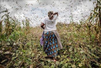 肯尼亚基图伊,一位农民走过蝗虫泛滥的农田。