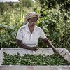 A Kenyan farmer prepares cowpea leaves to be dried for future use.