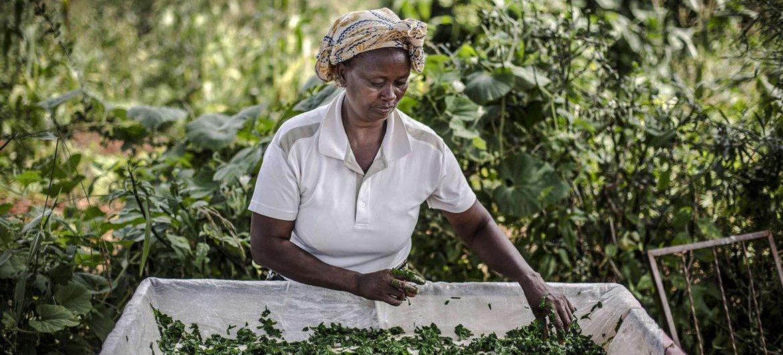 Una campesina keniata pone a secar unas judías para usarlas en el futuro.