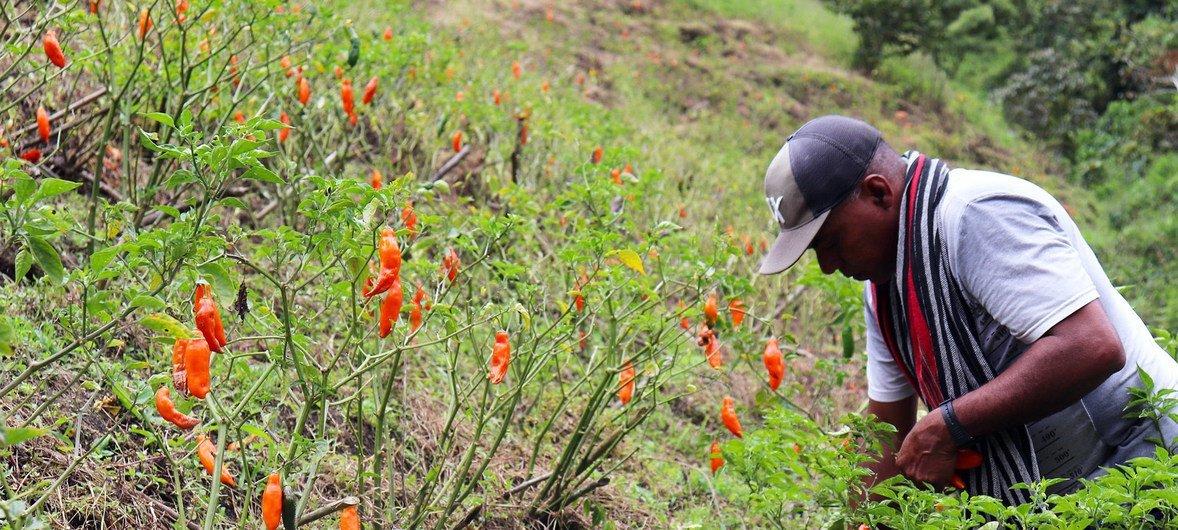 Un excombatiente de las FARC-Ep cultiva ajís en Antioquia, Colombia.