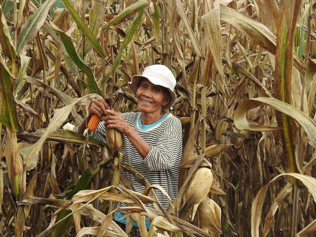 菲律宾布基农省的玉米种植户正在学习以更加可持续的方式进行耕作。