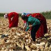 A family of farmers harvests maize in rural Aleppo in Syria. (file)