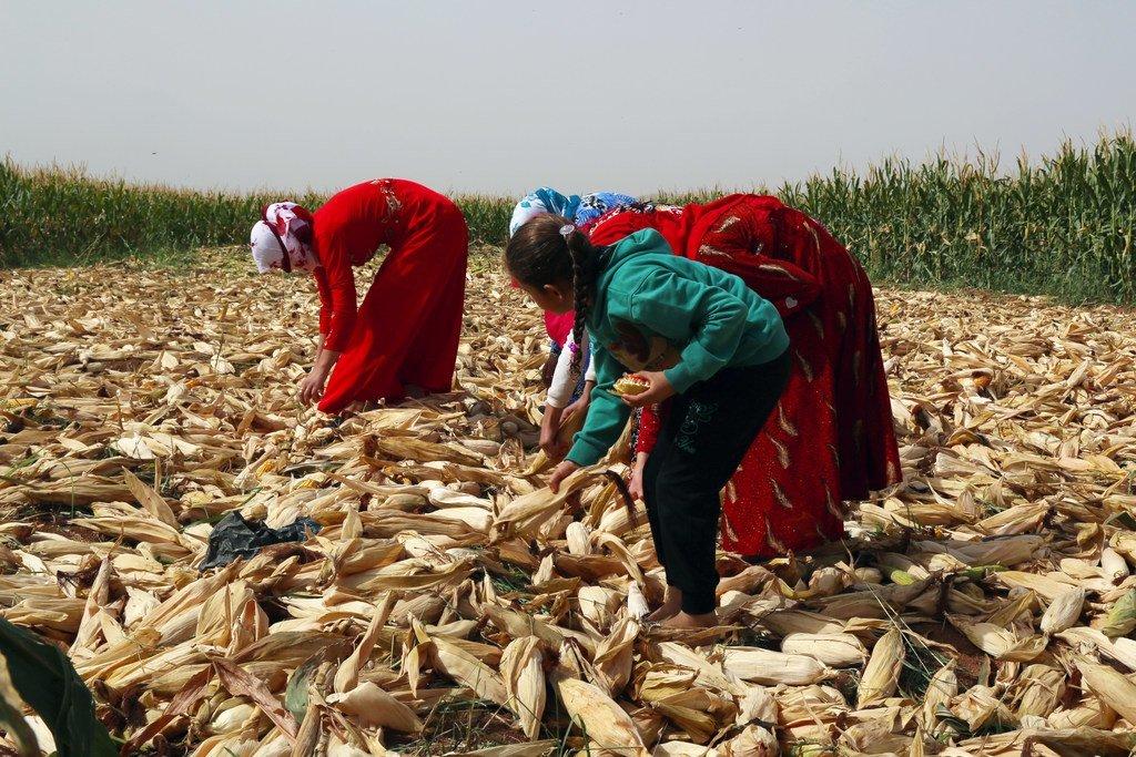 Dans la région d'Alep, l'agriculture est une affaire de famille. Mahmoud et sa famille retournent le maïs à la main pour l'aider à sécher après la pluie de la veille. Avant le conflit, une telle activité se faisait mécaniquement, mais maintenant Mahmoud doit le faire manuellement après avoir perdu ses tracteurs et son équipement.
