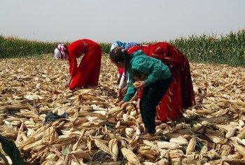عائلة من المزارعين والمزارعات تحصد الذرة في ريف حلب في سوريا. (ملف)