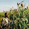 سوداني يزرع الذرة