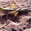 Un criquet pélerin en Mauritanie