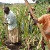 Campesinas<br>ugandesas