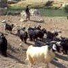 Restoring veterinary services in Iraq
