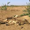 Animals face feed shortage due to depletion of rangeland
