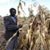 Maize production this year is lowest in a decade
